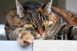 raise a maine coon cat
