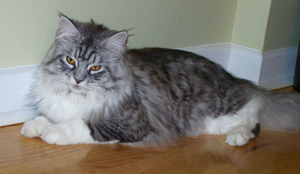 Maine Coon: The Social Butterfly of Cat Universe - Maine