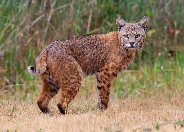 Big Bobcat