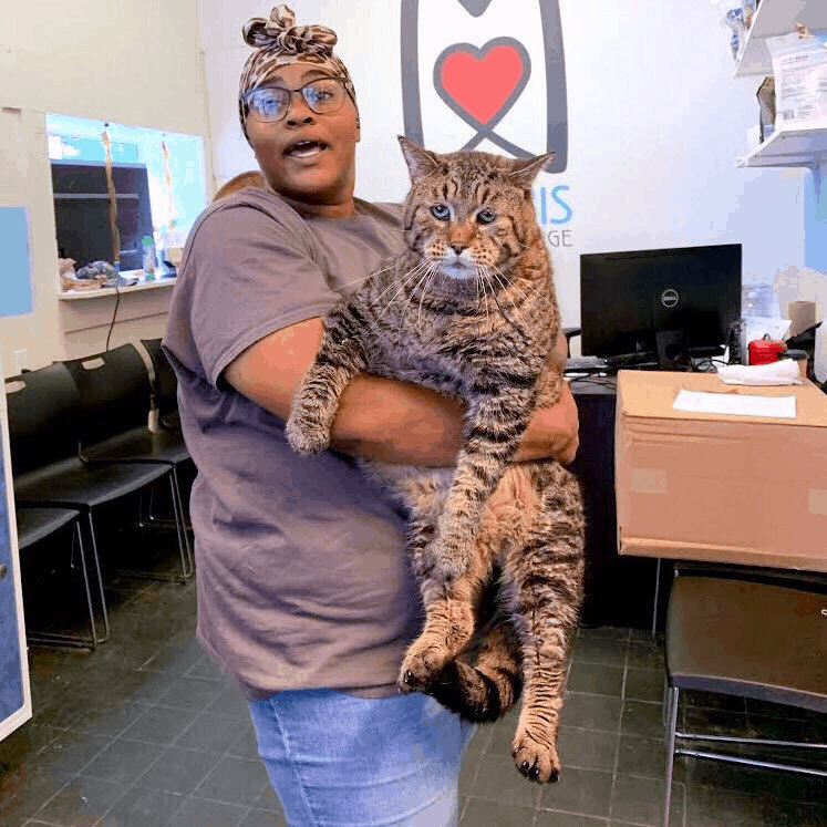 Let's Find Out Is Beejay The Chonk a Big Bobcat or Lynx